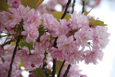 Kirschblüte Plants, Nature, Plant, Planting, Planets