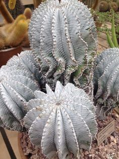 Euphorbia snow flake. Huntington Library