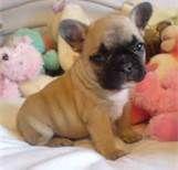 french bulldog puppies - Bing Images
