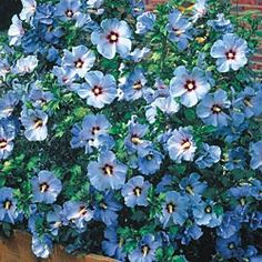 Blue bird rose of sharon.  Love the color and the name!