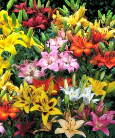 Take a look at this All-Summer Blooming Lily 20-Bulb Set by Cottage Farms Direct on #zulily today!
