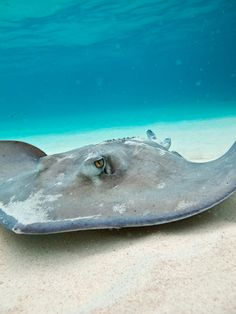 thelovelyseas:  Stingray city by SF brit