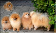 39f17d109adf9019f5e0837d6a9d5681.jpg 640×381 pixeles  I want to adopt another Pomeranian like the Pomeranians  in this photo. If anyone knows of a breeder - no puppy mills - please email me at parker226@comcast.net. Thank you.☀️