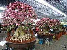Adenium bonsai tree, stunning flowers. By: Adenium Bonsai