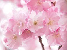 #八重桜 #sakura