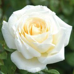 Creme de la Creme - David Austin Roses David Austin Roses, David Austin Climbing Roses, Love Rose, Love Flowers, My Flower, Pretty Roses, Beautiful Roses, Bed Of Roses, Austin Rosen