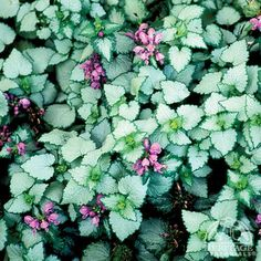 "Lamium Orchid Frost --- Lamiums are often listed for dry shade, but really they need average moisture. 6"" tall, will spread slowly to 12-24"" wide."