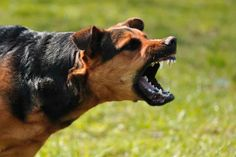 How To Deal With Aggressive Dog Behavior Problems - Dog Health Care and Information Maltese Dogs, Dogs And Puppies, Dog Attack, Dog Training Techniques, Dog Health Care, Aggressive Dog, White Dogs, Navy Seals, Dog Behavior