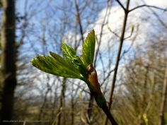 Day 22 - theme - By the wayside. We have been doing early morning walks for a couple of weeks and at last - spring is here and the buds are opening..