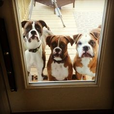 """""""Mom, let us in.... So we can go back out and then back in again.... In, Out, In, Out.""""  (boxer)"""