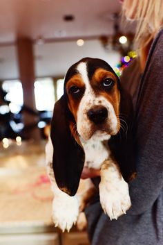 This is Henry!   He has taken over everything.   We take photos of all angles, because every angle of a Basset Hound puppy is cute. I realize some of you might cringe a litt…