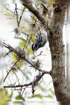 Black and White Warbler I from Florida Birds Collection by artist Dawn Currie. This warbler (Mniotilta variaare) are boldly striped in black and white. His black wings are highlighted by two wide, white wing bars. This crisply striped bundle of black and white feathers creeps along tree trunks and branches like a nimble nuthatch, probing the bark for insects with its slightly down-curved bill. 5x7 Note Cards $6.95 Prints available from $18. #birdart #floridabirds #birdwatching