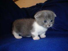 Scottish Fold Munchkin Kittens | Cat profile for Munchkin, a female Scottish Fold/Munchkin