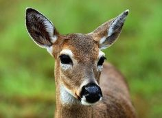 Deadly fly larvae infest endangered Key deer, pose threat to pets and livestock Glary Utilities, Big Pine Key, Deer Pictures, Fall Projects, Florida Keys, Endangered Species, Livestock, Kangaroo, Goats
