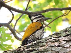 Common Goldenback or Flameback Woodpecker (Female)