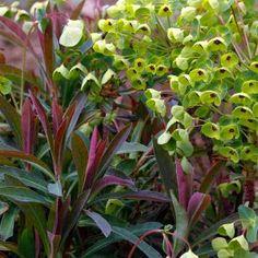 Euphorbia x martinii - Euphorbe de Martin Plants, Mood, Ideas, Gardens, Natural Phenomena, Yellow Flowers, Perennial Plant, Green, Rustic