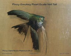 pinoy smokey pearl/diamond scale veil tail by pinoy angelfish kenneth s kennedy, via Flickr