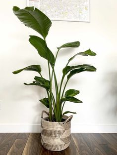 Tall Indoor Plants | 7 Best Large Houseplants to Grow in Your Home - My Tasteful Space
