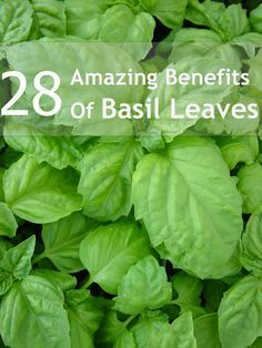 28 Amazing Benefits Of Basil Leaves For Skin, Hair And Health