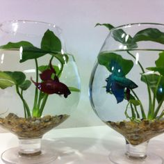 Our new homes for our Betta fish - Large brandy glass, Amazonian water lily and natural pebbles!