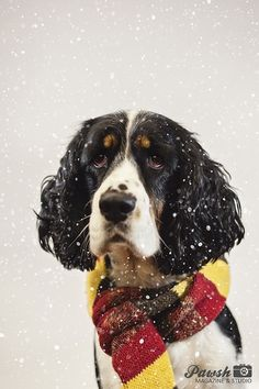 A soulful spaniel! Christmas dog photography!