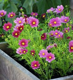 Pretty flowers in a wooden box Beautiful Flowers, Container Gardening, Beautiful Gardens, Flower Garden, Pretty Flowers, Pink Garden, Plants, Planting Flowers, Cosmos Flowers