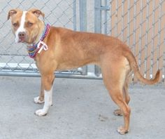 SAFE 11-6-2015 --- Brooklyn Center FRIDA-A1056138 FEMALE, TAN / WHITE, AM PIT BULL TER MIX, 2 yrs STRAY – STRAY WAIT, NO HOLD Reason STRAY Intake condition UNSPECIFIE Intake Date10/27/2015 http://nycdogs.urgentpodr.org/frida-a1056138/