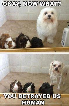 Hahahahhaha I love that the dog has a bath with guinea pigs