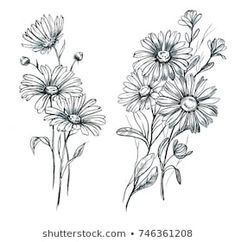 Find Hand Drawn Line Art Watercolor Chamomile stock images in HD and millions of other royalty-free stock photos, illustrations and vectors in the Shutterstock collection. Daisy Flower Drawing, Flower Line Drawings, Flower Sketches, Pencil Art Drawings, Tattoo Drawings, Body Art Tattoos, Lotus Flower, Aster Tattoo, Aster Flower Tattoos