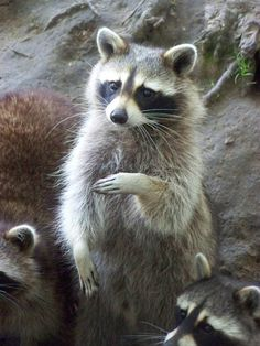 Raccoon 4 by ~LidiaL on deviantART