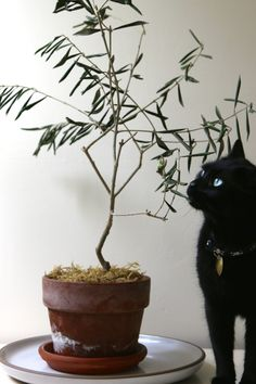 The Novice Gardener's Indoor Olive Tree Houseplant and Little Black Cat Beautiful Cats, Animals Beautiful, Cute Animals, Indoor Olive Tree, Grey Cats, Black Cats, Kinds Of Cats, Curious Cat, All About Cats