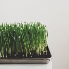 How to grow your own wheatgrass. Perfect for Spring tables!