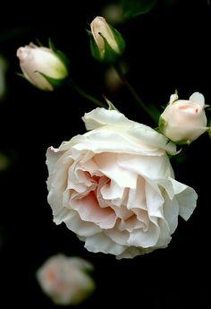 500px / Rose 25 by Motony Anitha