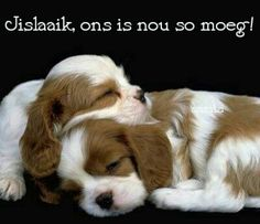 About - Dogs - Most popular breeds (US), Cavalier King Charles Spaniel Puppies /Puppys Photo and Pictures. The Cavalier King Charles Spaniel. Love My Dog, Puppy Love, Cute Puppies, Cute Dogs, Dogs And Puppies, Doggies, Lap Dogs, Puppy Images, Puppy Pictures