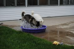 My husky digs her water bowl all the time . Gotta luv a Husky ! Cute Puppies, Cute Dogs, Dogs And Puppies, Doggies, Pomsky Puppies, Cute Funny Animals, Funny Dogs, It's Funny, Funny Husky