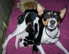 rat terrier puppies being born
