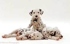 Dalmatian Dogs | Dalmatian Puppies