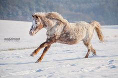 Pferde in der Natur - Monika Bogner Photography Horses In Snow, Black Horses, Cute Horses, Beautiful Horses, Animals And Pets, Cute Animals, Winter Schnee, Snow Photography, Appaloosa Horses