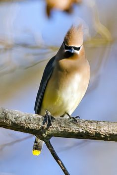 These guys are so weird with their sunglasses and poufs. - Cedar Waxwing by Brian E Kushner, via Flickr