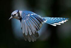 Beautiful blue bird flying