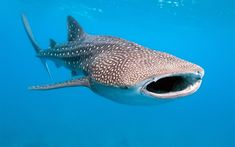 Download wallpapers Whale shark, ocean, underwater world, predator, 4k, wildlife, marine life, huge shark, Carpet shark, Rhincodon typus