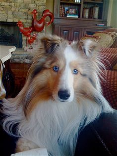 Beautiful Blue eyed Sable Merle Sheltie. Call me shilo