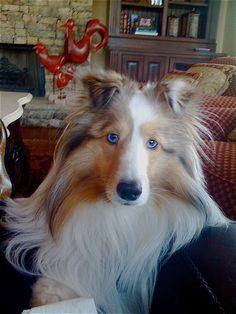 Beautiful Blue eyed Sable Merle Sheltie