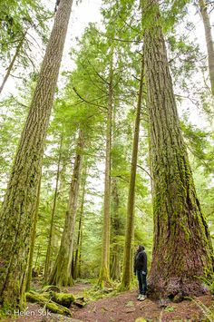 Cathedral Grove in MacMillan Provincial Park is an old-growth forest with trees up to 800 years old - a worthy stop on the drive from Nanaimo to Tofino (Vancouver Island, British Columbia, Canada). Best Places To Travel, Places To Visit, West Coast Canada, Yellowstone Camping, Old Trees, Canada Travel, Canada Trip, British Columbia, Columbia Travel