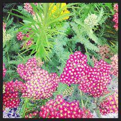 'Paprika' Yarrow in the SI Butterfly Habitat Garden
