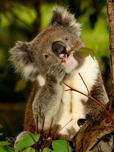 Koala in Tree - Koala sitting in an Eucalyptus Tree, Australia, Close Up