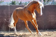 ALBERO - The Best Spanish Horses - Horses for Sale Direct from Spain - Lusitano X