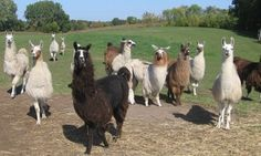 Groupon - $ 15 for a Family Visit for Up to Six to Carlson's Llama Farm ($25 Value) in Laketown. Groupon deal price: $15