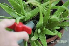 Revive a Dying Aloe Vera Plant Step 4.jpg