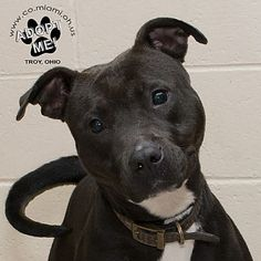 I am at a full kill shelter in Troy, Ohio - Pit Bull Terrier. Meet Bonnie, a for adoption. https://www.adoptapet.com/pet/19596306-troy-ohio-pit-bull-terrier-mix